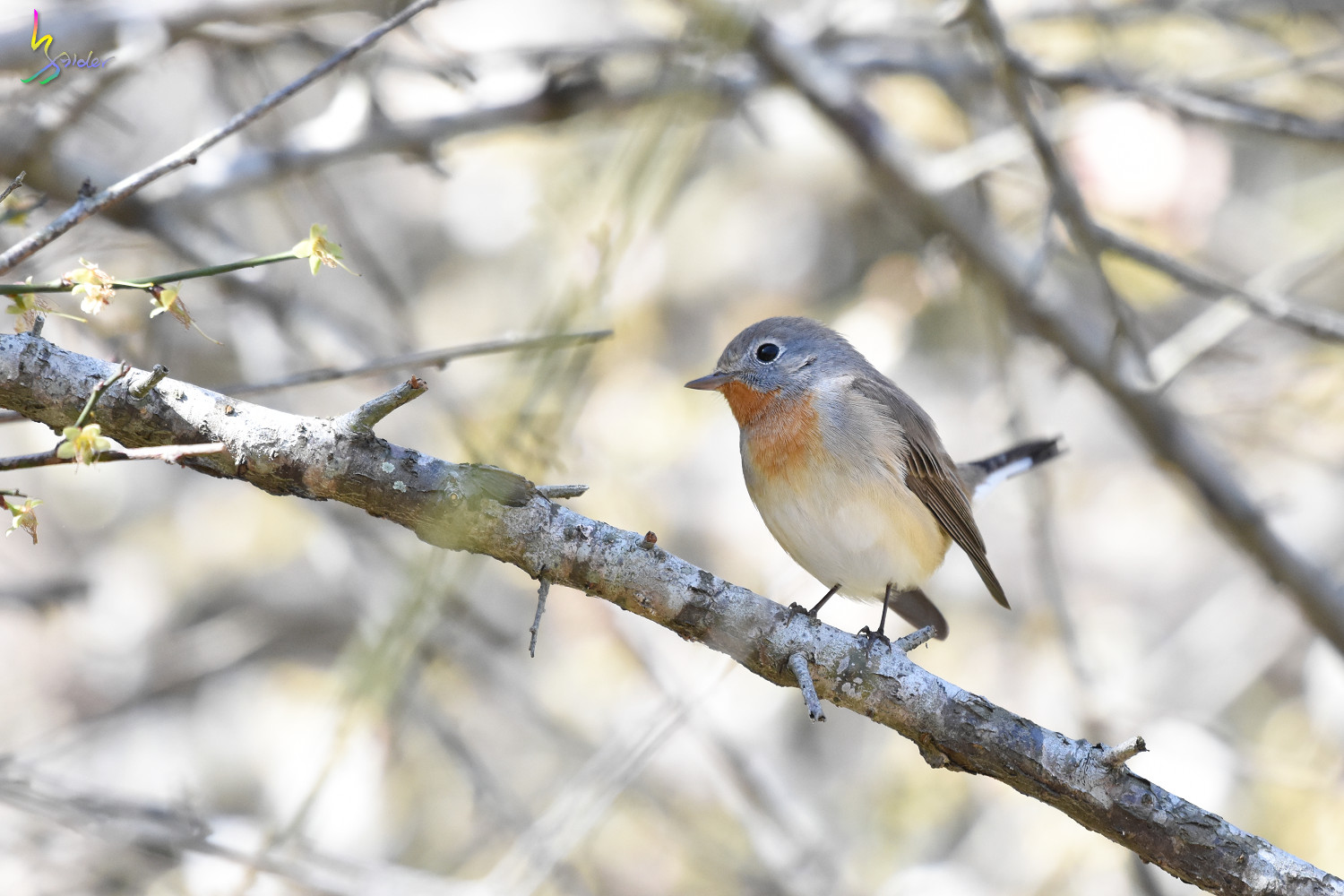 Red-breasted_Flycatcher_6365