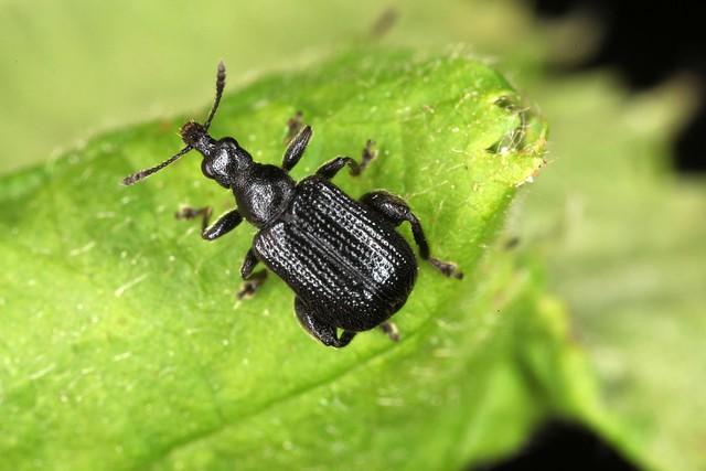 Deporaus betulae mâle, le rhynchite du bouleau.