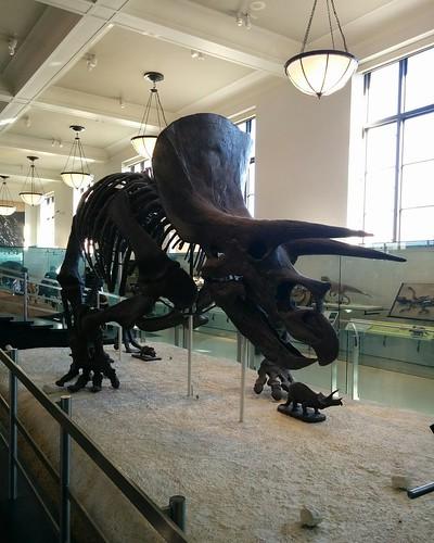 Triceratops #newyorkcity #newyork #manhattan #amnh #dinosaurs #triceratops #fossil #americanmuseumofnaturalhistory #latergram