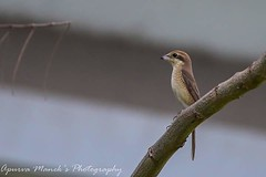 Brown shrike  #bird #birds #aves #birdsarebeautiful #shrike #colourphotography #nature #natgeo #wings #nestbuil
