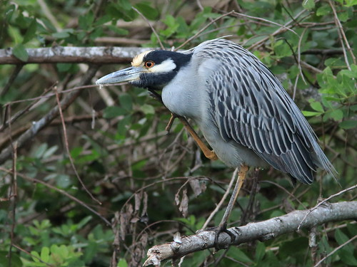 Yellow-crowned Night-Heron 04-20180108