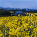 Gerry Lynch posted a photo:Canola flowering on the Clarendon Estate.