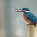 Kingfisher in the rain...
