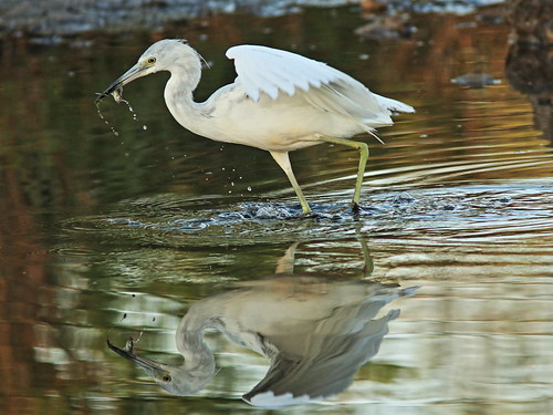 Little Blue Heron immature 02-20180306