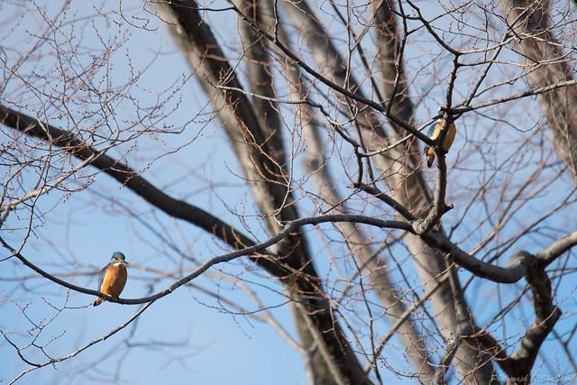 20180211-kingfisher-DSC_8471