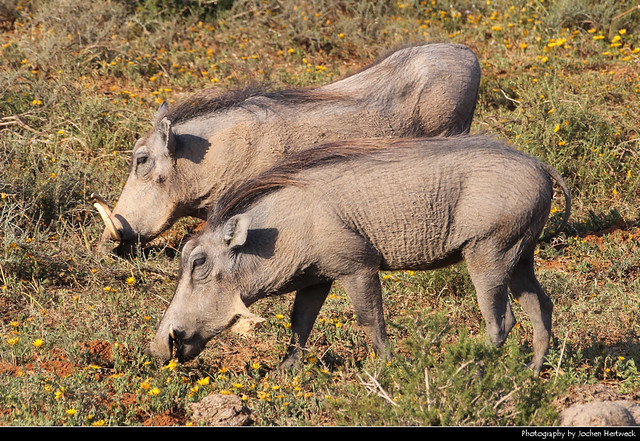 Warthogs, Addo Elephant NP, South Africa