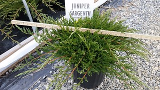 Juniper Sargentii 3 gal 15-18 | by Johnson Farms