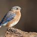 Eastern Bluebird by Matt Cuda - www.mattcuda.com