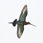 Black-tailed godwit in flight - Guy Shorrock