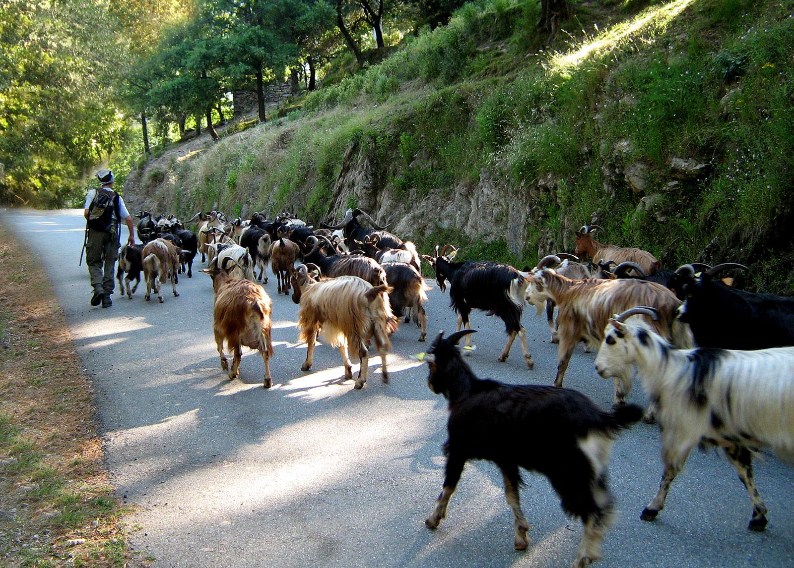 Bergère avec troupeau