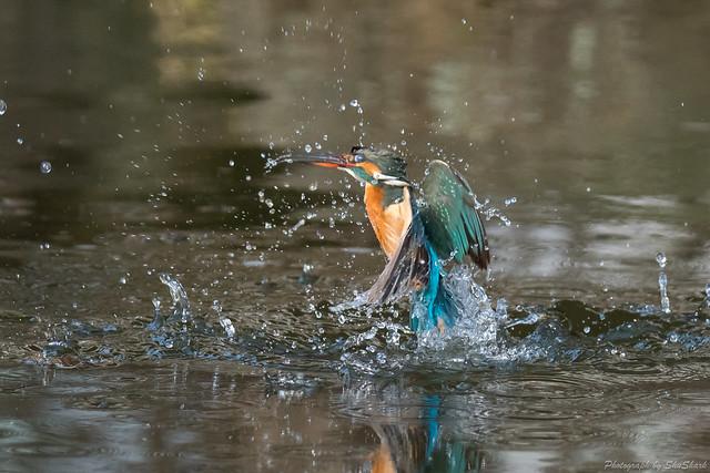 20180203-kingfisher-DSC_6969