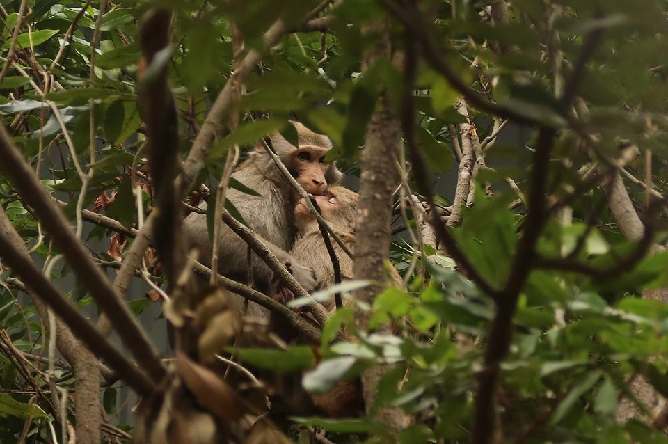 Hai Duong Pagoda macaques_Cut and Zian_jan2018 (12)