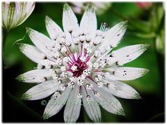 White flower of Astrantia major (Greater Masterwort, Great Black Masterwort, Melancholy Gentlemen) with five stamens, March 1 2018