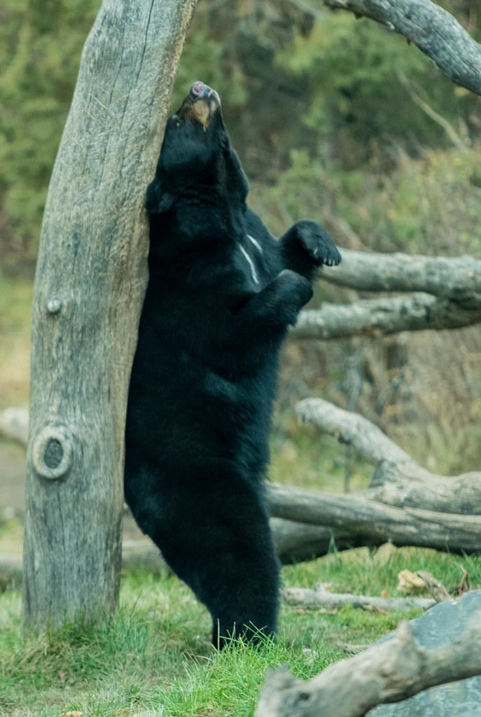 Black Bear_3