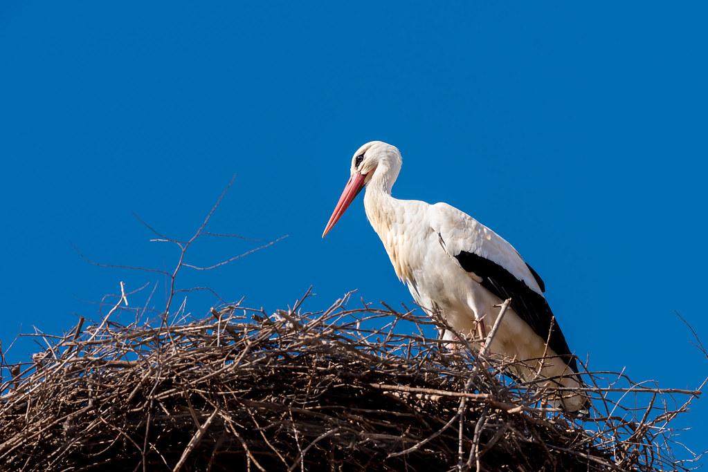 White Stork on a Nest
