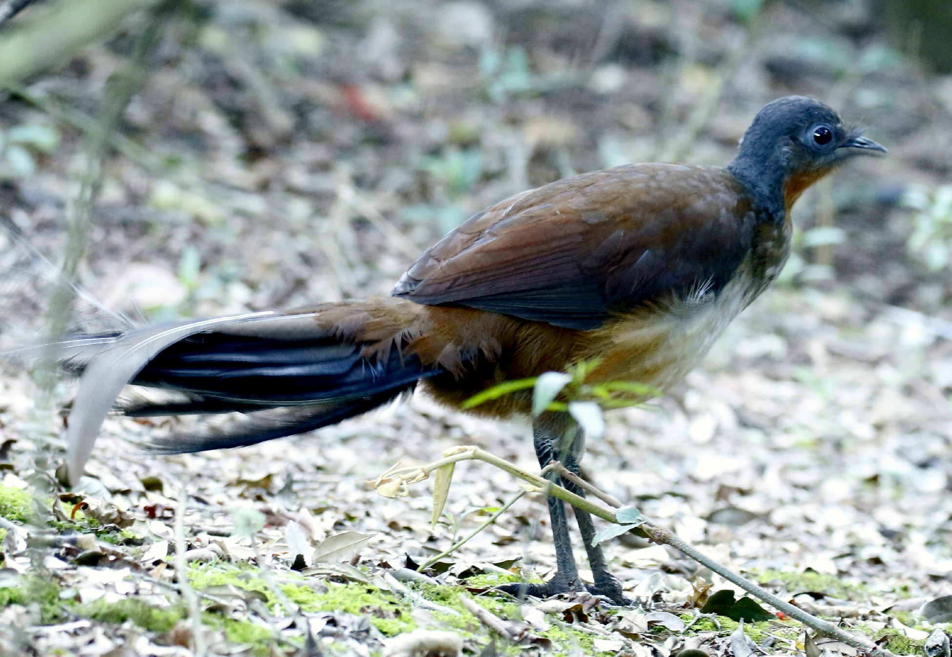 Albert's lyrebird, as photographed at O'Reilly's Lodge in Australia on October 20, 2015.