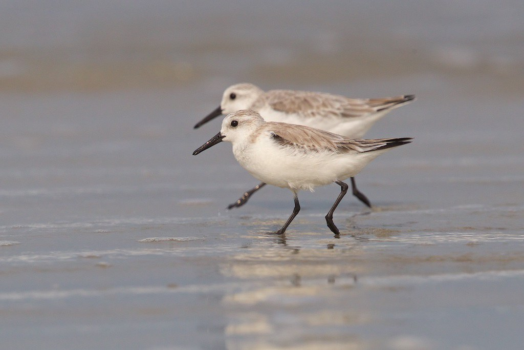 Sanderling. Calidris alba