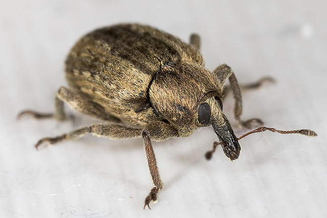 Alfalfa Weevil (Hypera postica)
