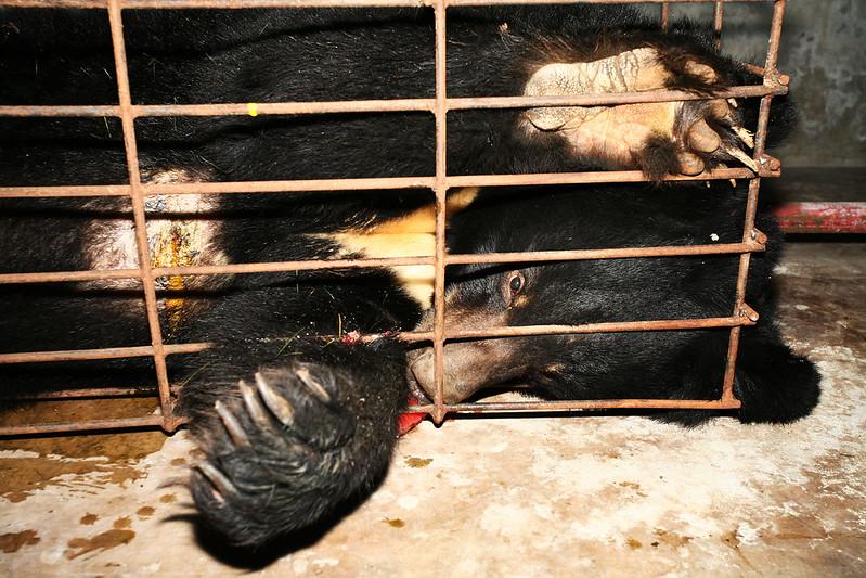 2008 China bear in crush cage free drip