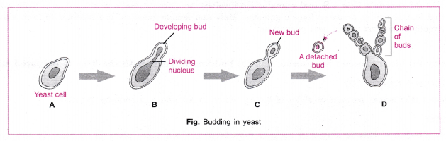 cbse-class-10-science-practical-skills-binary-fission-in-amoeba-and-budding-in-yeast-3