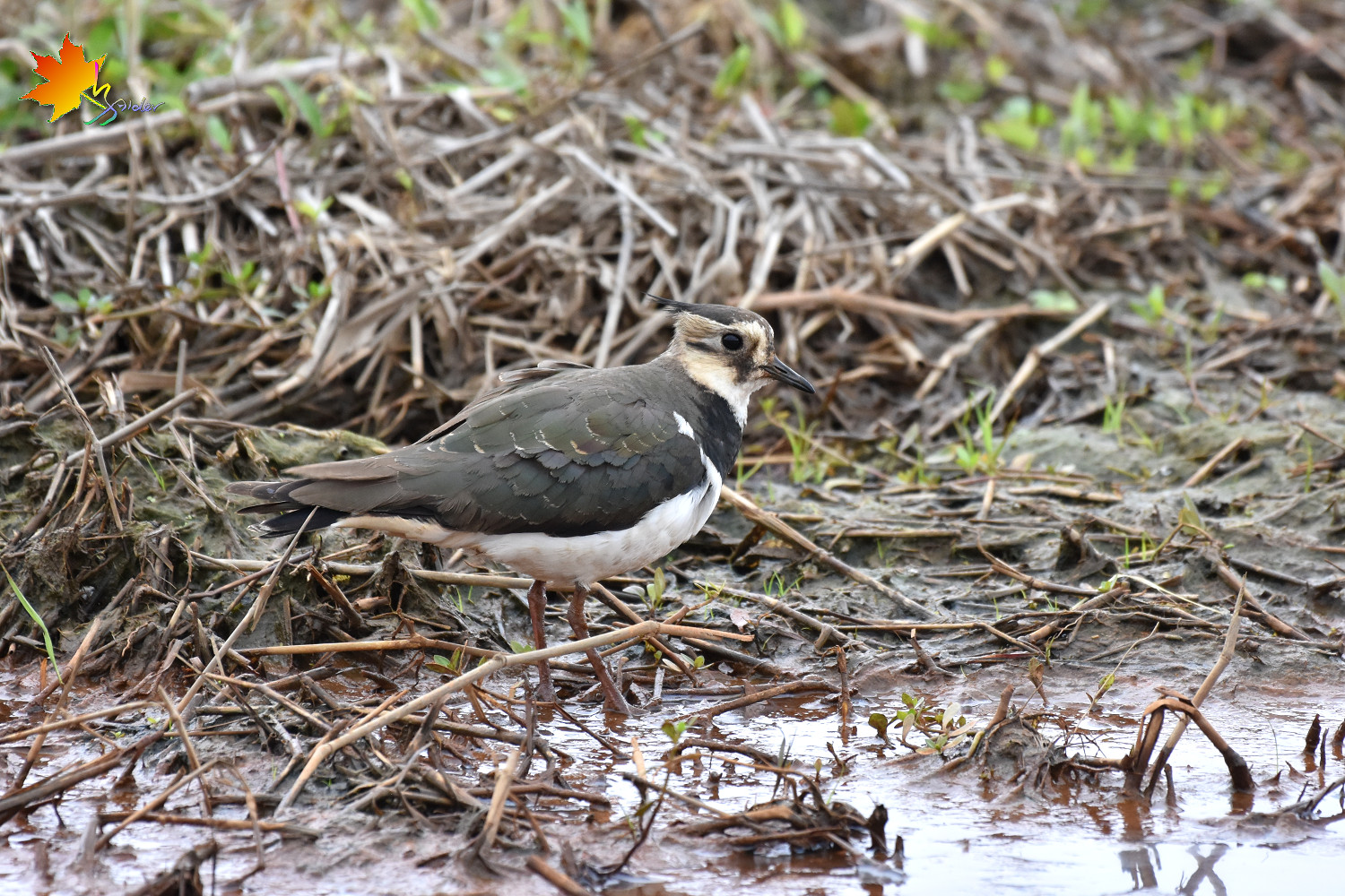 Northern_Lapwing_8688