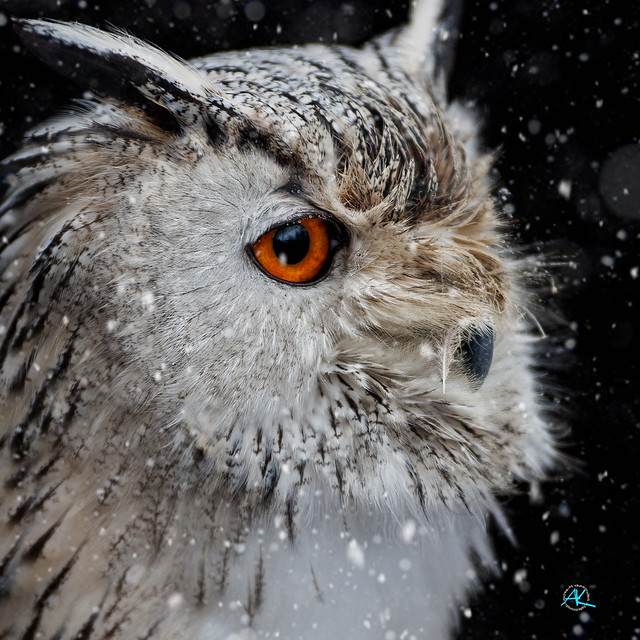 Siberian Eagle Owl in Snow Storm