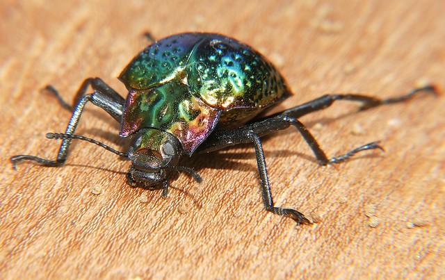 Dimpled shiny metallic green beetle Prophanes sp Tenebrionidae cyphaleinae Airlie Beach rainforest P1170254