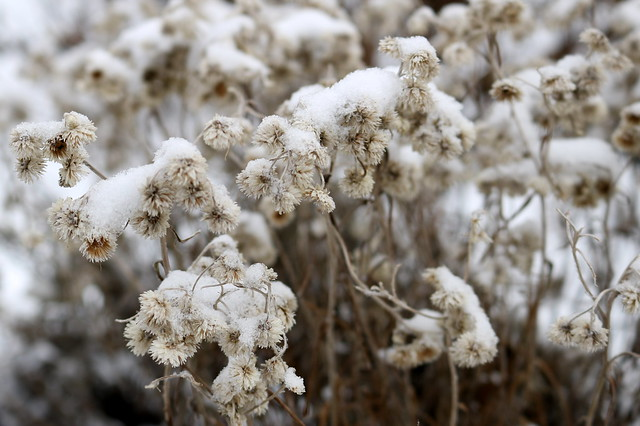 snow covering small, limp, white seedheads