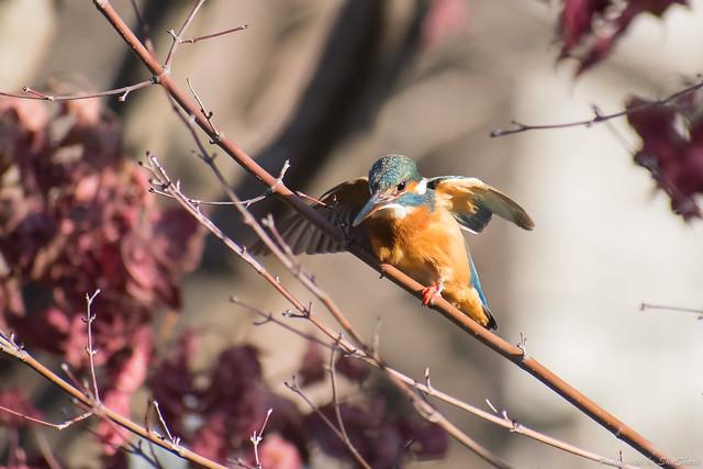 20180125-kingfisher-DSC_5375