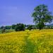 Buttercup fields beside the Monsal Way, Great Longstone, Peak District, UK