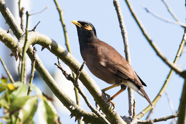 Common Myna (Acridotheres tristis), Florida City, Florida