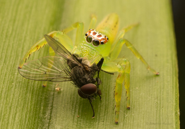 Young Green Jumping Spider with prey
