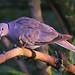 15 Collared Dove
