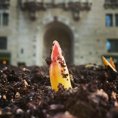 Spring tulips breaking ground for my last year working in Tribune Tower
