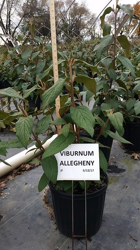Viburnum Alleghany 3 gal 18-24 | by Johnson Farms