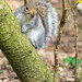 Grey squirrel 28 Jan 18 1