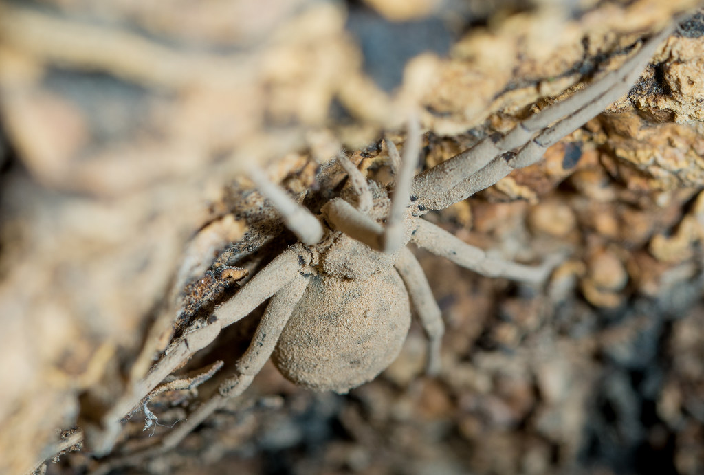 Dusty Desert Spider