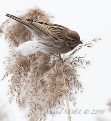 Bruant des roseaux - Emberiza schoeniclus - Common Reed Bunting : Michel NOËL © 2018-2658.jpg
