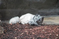 Polarfuchs im Winter
