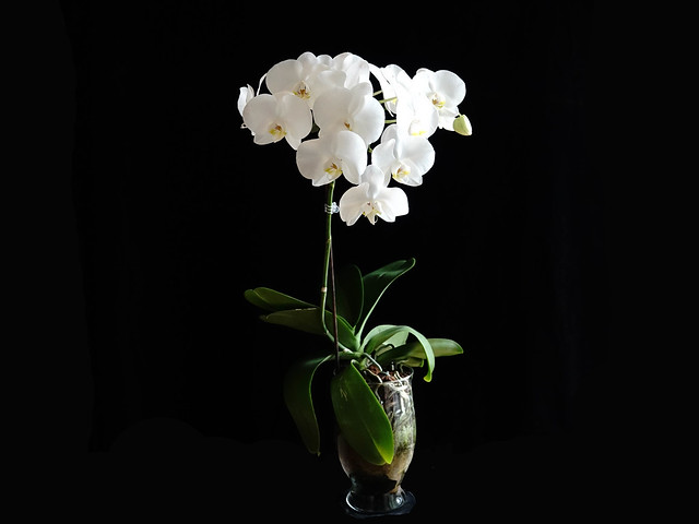 I love white Phalaenopsis!