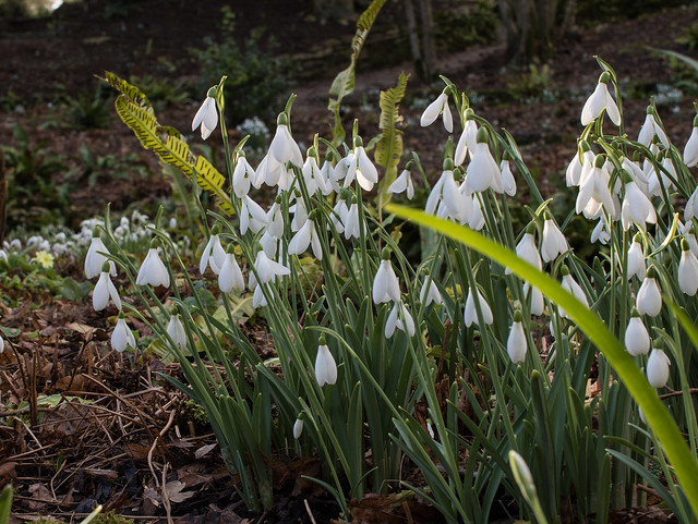 Snowdrops, Kingston Lacy III