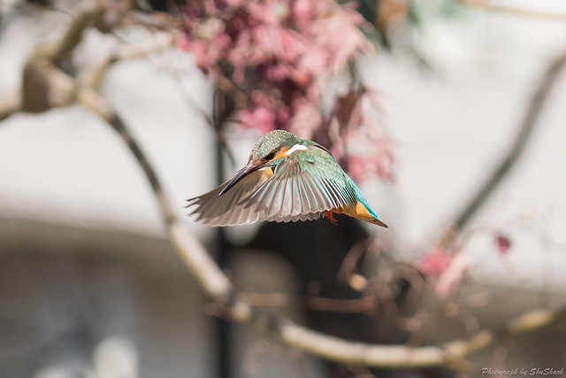 20180127-kingfisher-DSC_6153