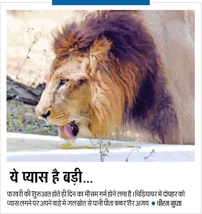 चिड़ियाघर में दोपहर को प्यास लगने पर अपने बाड़े में जलस्रोत से पानी पीता बब्बर शेर