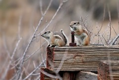Ground squirrel duo
