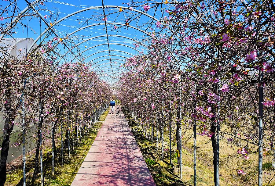 芬園花卉休憩園區-櫻花園區201802