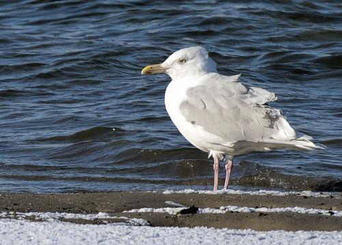 nh.glaucous gull