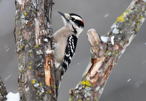 Male Downy Woodpecker- snowy morning