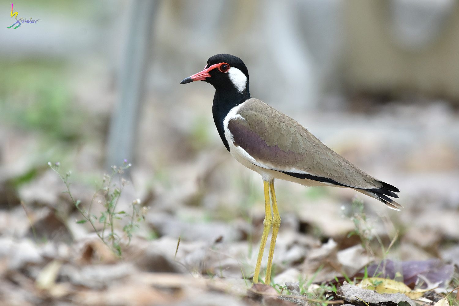 Red-wattled_Lapwing_3637