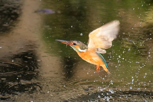 20180129-kingfisher-DSC_6339
