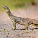Yellow Spotted Monitor, Kakadu